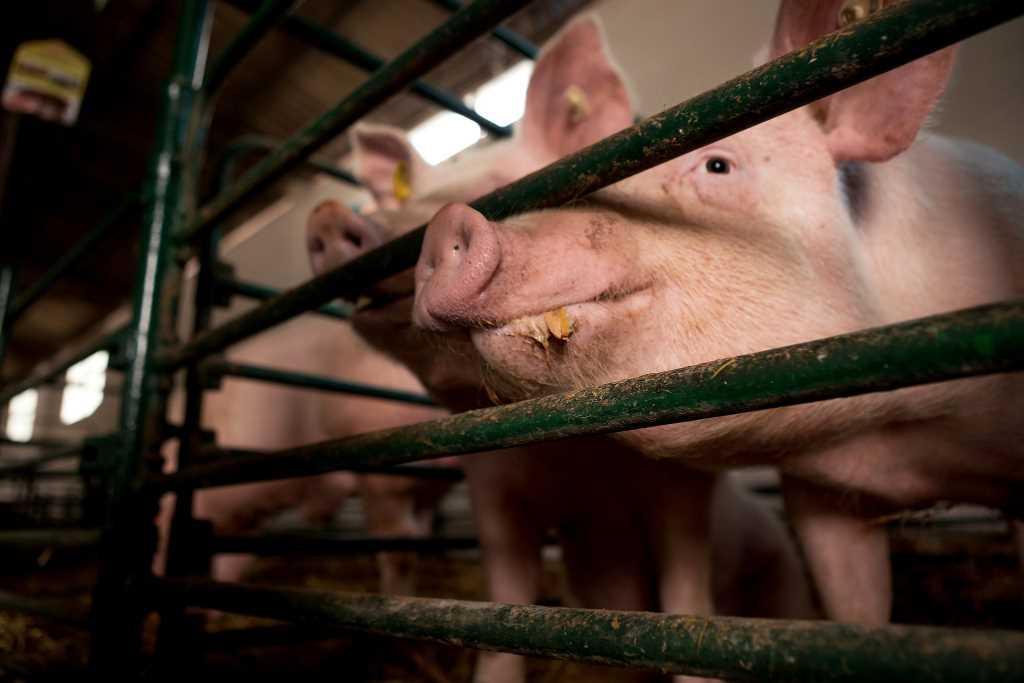El sector porcino fue el más dinámico de la economía en la última década
